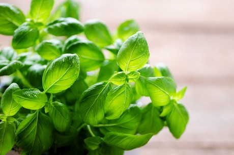 Basil Leaves helps in breastfeeding